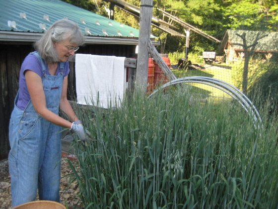 Peggy Fitzgibbon harvests milky oats from her garden in western NY